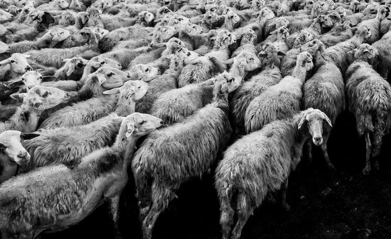 Milczenie pasterzy